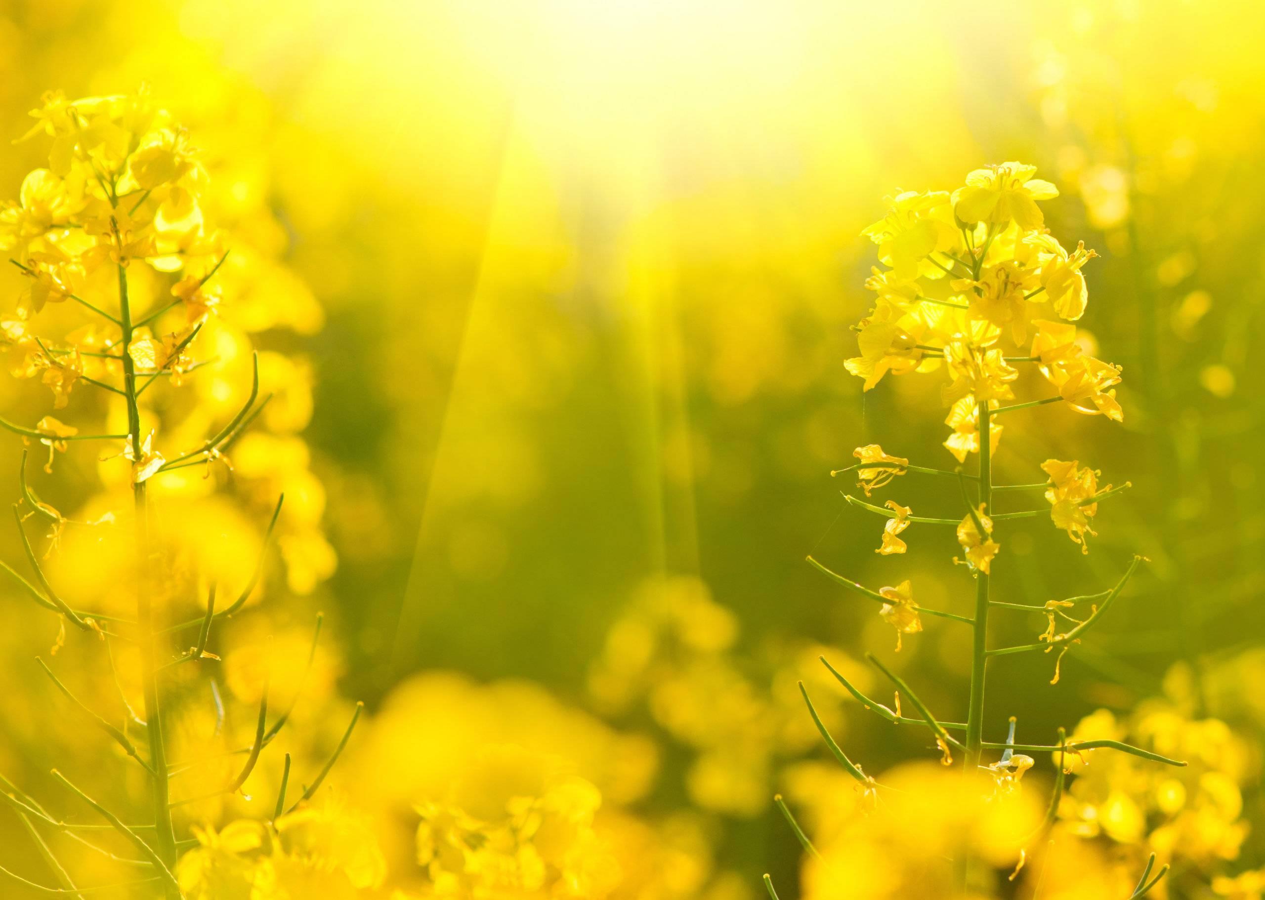 Nawożenie rzepaku w okresie wiosennym i profilaktyka mikroelementowa (P3)
